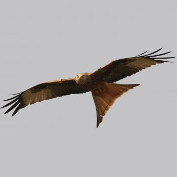 red_kite_square