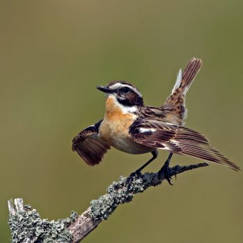 whinchat2
